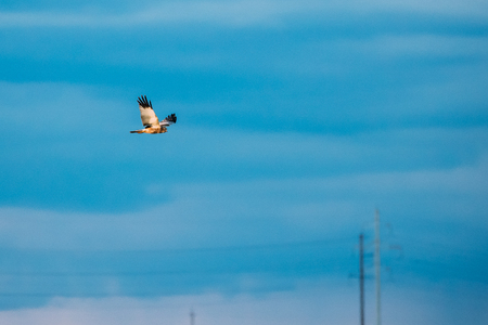 The Hen Harrier Or Circus Cyaneus Wild Bird Flies In Blue Sky In Belarus. In Eurasia, The Adult Male Is Sometimes Nicknamed Reklamní fotografie