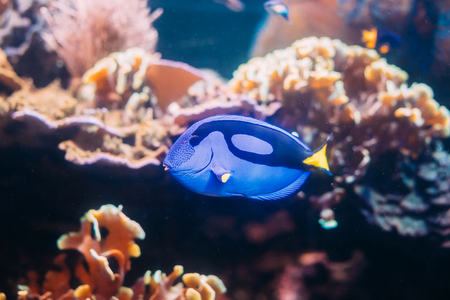 Blue Tang Fish Paracanthurus Hepatus Swimming In Water. Popular Stock Photo