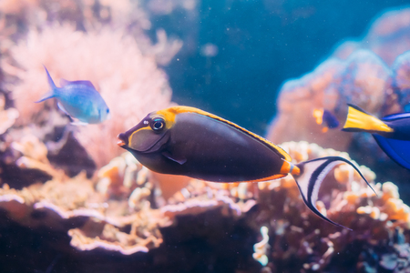Barcheek Unicornfish Or Clown Tang Or Masked Unicornfish Fish Naso Stock Photo