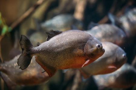 Red-bellied Piranha Or Red Piranha Fish Pygocentrus Nattereri Swimming In Water. Stock Photo