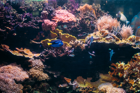 Blue Tang Fish Paracanthurus Hepatus And Chromis Viridis Swimming