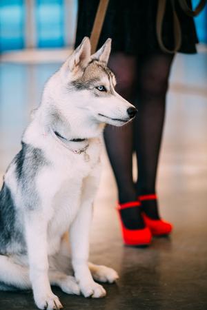 Junger weißer und grauer Husky Eskimo Dog Standard-Bild