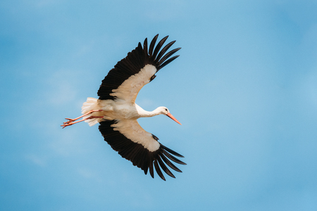 Adult European White Stork Flies In Blue Sky With Its Wings Spread