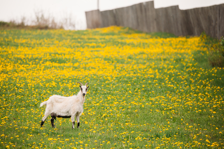 Goat  Grazing In Spring Meadow With Fresh Green Grass And Dandelion Flowers In Countryside. Farm Animal.
