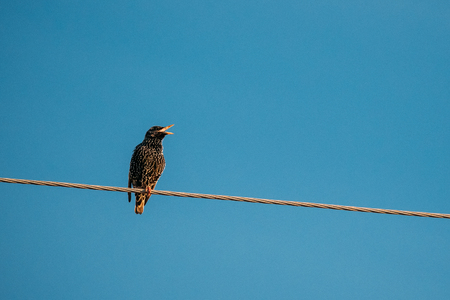 Wild Forest Bird Common Starling Sitting In Wire And Singing In Spring Season