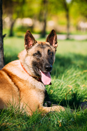 Malinois Dog Sit Outdoors In Green Grass Banque d'images