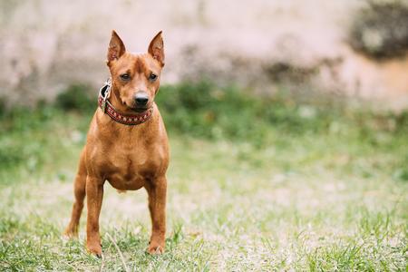 Red Brown Miniature Pinscher Pincher Min Pin Zwergpinscher Dog Standing