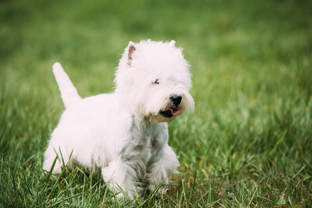 Small West Highland White Terrier - Westie, Westy Dog Running On Green Grass Stock Photo