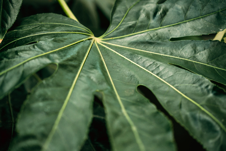 Green Leaves Of Fatsia Japonica In Botanical Garden