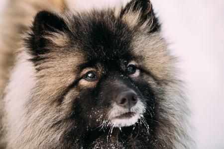 Sluit omhoog van Keeshond, Keeshonden-hond in Sneeuw, Wintertijd.
