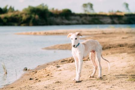 Puppy Of Russian Wolfhound Hunting Sighthound Russkaya Psovaya Borzaya