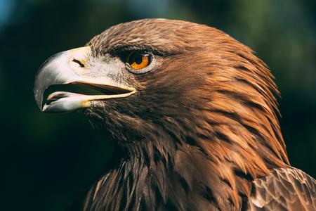 Eagle Haliaeetus Albicilla On Green Grass Background. Wild Bird.
