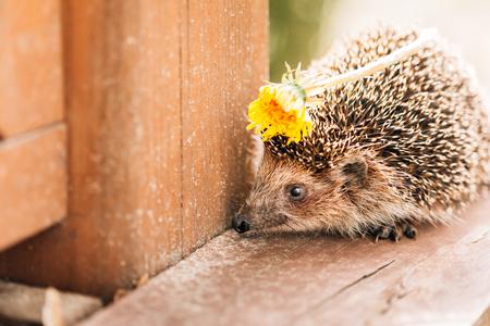 Hedgehog Standing On Wooden Floor With Spring Dandelion Flower In Spines Stock Photo