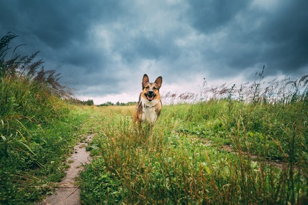 Funny Mixed Breed Dog Playing In Meadow Green Grass In Summer Reklamní fotografie