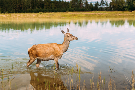 European Roe Deer Walking On Water. Nature