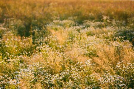 Blooming Wild Flowers Matricaria Chamomilla Or Matricaria Recutita