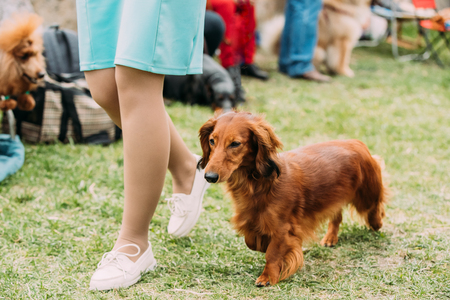 Brown Red Longhaired Dachshund Dog Running Near Woman In Green G Stock Photo - 108096160