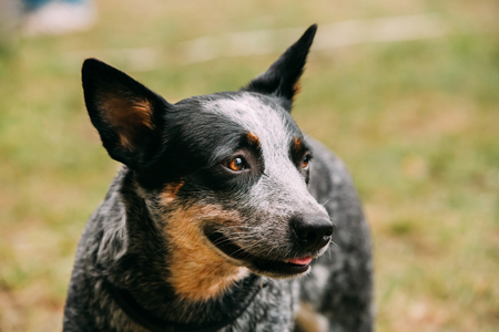 Australian Cattle Dog Close Up Portrait Outdoor. This Is Breed O