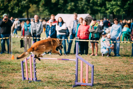 Malinois Dog Jumping Through Barrier During Agility Dog Training