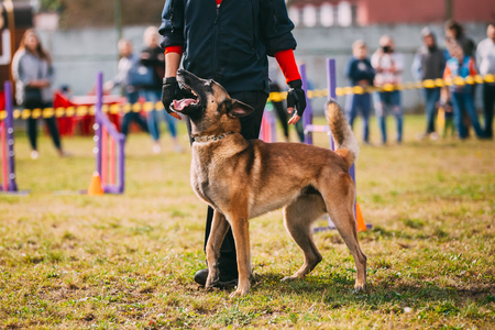 Handler Working With A Malinois Dog In Training In Summer Day Stock Photo