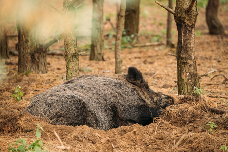 Belarus. Wild Boar Or Sus Scrofa, Also Known As The Wild Swine, Eurasian Wild Pig Resting Sleeping In Autumn Forest. Wild Boar Is A Suid Native To Much Of Eurasia, North Africa, And Greater Sunda Islands Banco de Imagens