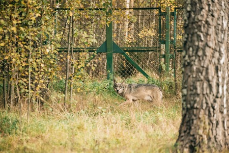 Belarus. Running Eurasian Wolf Canis Lupus Stock Photo