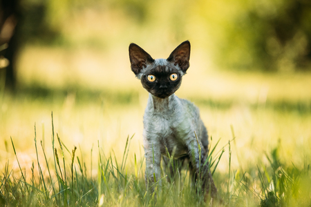 Young Gray Devon Rex Kitten In Green Grass. Short-haired Cat Of Standard-Bild - 114962943