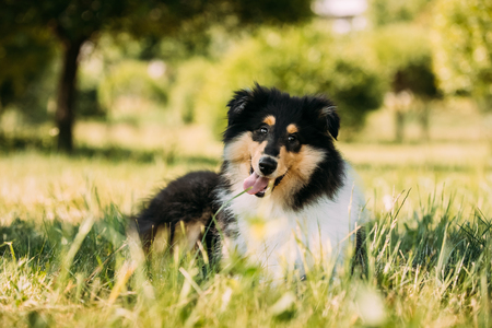 Tricolor Rough Collie Puppy, Funny Scottish Collie, Long-Haired Archivio Fotografico