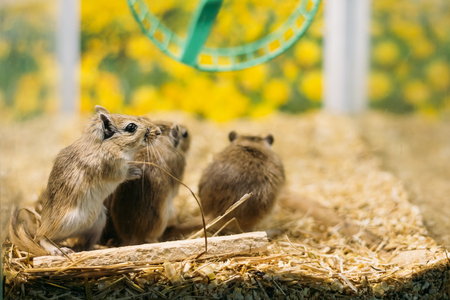 Meriones Unguiculatus, The Mongolian Jird Or Mongolian Gerbil Stock Photo