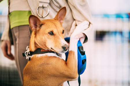 Basenji Dog Hugging With Woman. Funny Pets Hugs. Basenji Kongo T