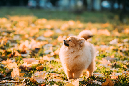 Young Red Puppy Pomeranian Spitz Puppy Dog Sniffing Air Outdoor Foto de archivo - 114963402