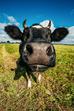 Close Up Of Cow In Meadow Or Field With Green Grass In Mouth. Co Imagens