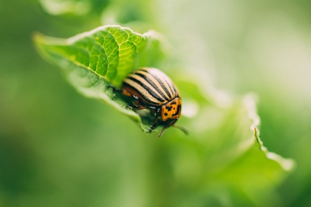 Striped Beetle - Leptinotarsa Decemlineata Is A Serious Pest Of 版權商用圖片