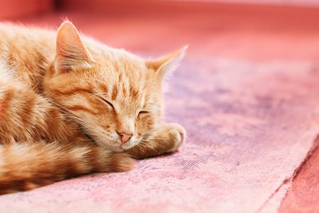 Orange Red Tabby Male Kitten Ginger Cat  Curled Up Sleeping In H Foto de archivo