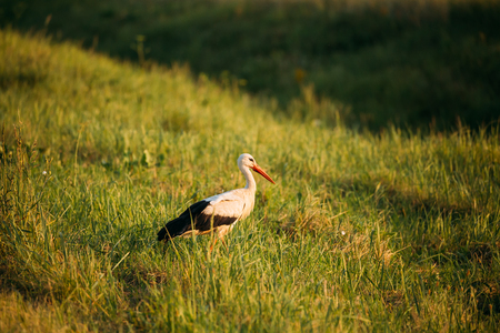 Belarus. European White Stork Standing In Green Summer Grass. Wi