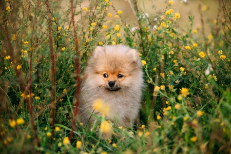 Young Happy White Puppy Pomeranian Spitz Puppy Dog Sitting Outdo Foto de archivo