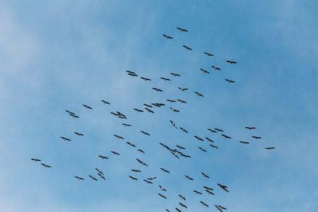 Belarus. Flock Of Common Cranes Or Eurasian Cranes Flying In Sun