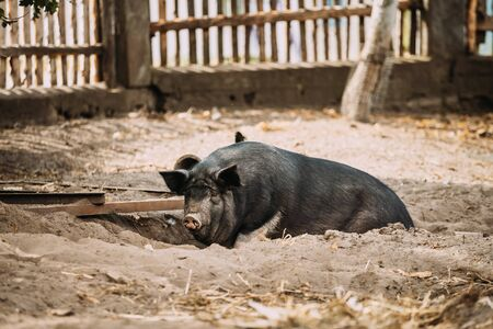 Large Black Pig In Farm. Pig Farming Is Raising And Breeding Of Domestic Pigs. It Is A Branch Of Animal Husbandry. Pigs Are Raised Principally As Food Pork, Bacon, Gammon