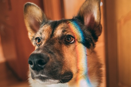 Reflection Of A Multi-colored Rainbow On The Face Of A Dog. Mixed-breed Dog Lying On Floor Indoor