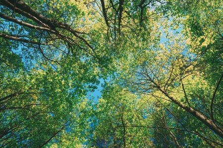 Sunny Canopy Of Tall Trees. Sunlight In Deciduous Forest, Summer Nature. Upper Branches Of Maple Tree. Low Angle View.