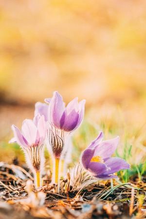 Wild Young Pasqueflower In Early Spring.  Flowers Pulsatilla Patens