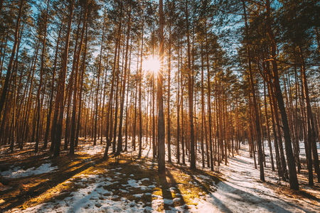 Beautiful Sunset Sun Sunshine In Sunny Early Spring Coniferous Forest. Sunlight Sun Rays Shine Through Pine Woods In Forest Landscape Partially Covered Snow In Late Autumn Or Early Winter Season