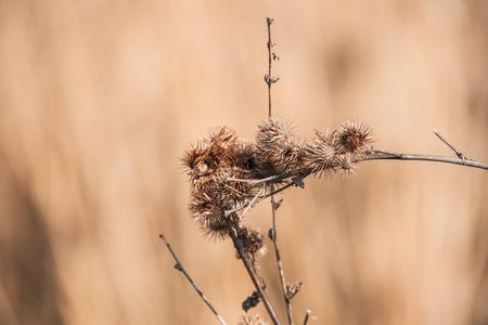 Dry Habitus Of Greater Burdock Or Arctium Lappa In Autumn Season