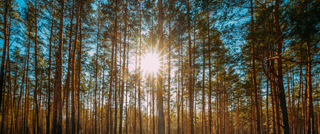 Beautiful Sunset Sun Sunshine In Sunny Spring Coniferous Forest. Sunlight Sun Rays Shine Through Pine Woods In Forest Landscape