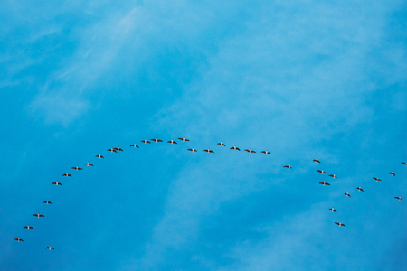 Flock Of Ducks Flying In Sunny Blue Spring Sky During Their Migration In Belarus, Russia