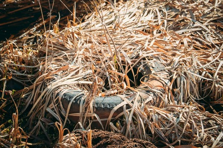 Old Tire Cover Left In Dry Autumn Grass. Used Tire Dropped In Ground. Eco Concept Garbage Disaster From Ecological Pollution Of Environment. Waste Pollution Problem