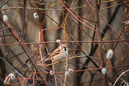 Bird Nestling House Sparrow - Passer Domesticus - Sitting On Branch Tree In Spring Season. Belarus,  Belarusian Nature, Wildlife Banco de Imagens