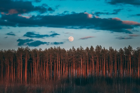 Full Moon Rising Above Pine Forest Landscape In Belarus Or European Part Of Russia During Sunset Time Of Summer Evening. Sunrise Nature At Sunny Morning Banco de Imagens