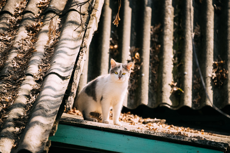 Small Cute White Cat Resting Sitting On Old Roof Of Wooden House In Countryside At Sunny Autumn Day