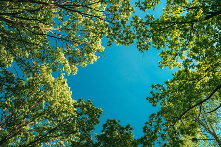 Canopy Of Tall Oak Trees With Young Spring Foliage Leaves. Spring Upper Branches Of Woods In Deciduous Forest. Beautiful Nature.
